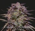 KALASHNIKOV SEEDS - PURPLE RUSSIAN EXPRESS