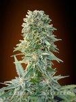 ADVANCED SEEDS - Auto Jack Herer