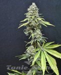 SEEDSMAN - CBD Critical Mass