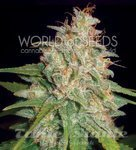 WORLD OF SEEDS - Mazar X White Rhino