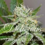 DELICIOUS SEEDS - Original Juan Herer