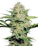 SENSI SEEDS - Shiva Skunk Automatic