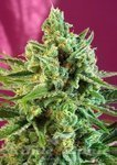 SWEET SEEDS - S.A.D. Sweet Afgani Delicious CBD