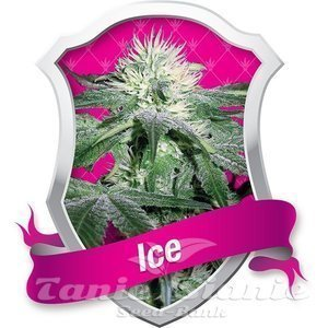 ROYAL QUEEN SEEDS - ICE®