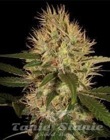 DNA GENETICS - Martian Mean Green