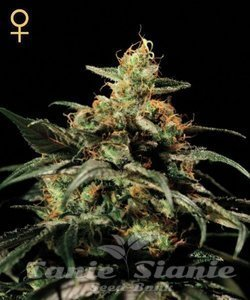 GREEN HOUSE SEEDS - King's Kush