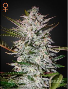 GREEN HOUSE SEEDS - Holy Punch
