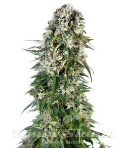 SENSI SEEDS - Big Bud Automatic